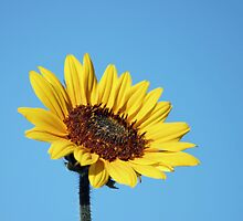 Blue Sky and Sunflower by Lori Peters