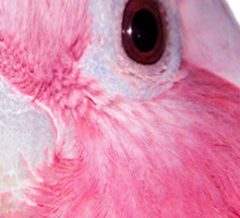 Australian Galah (short sleeve T-shirt) Sticker