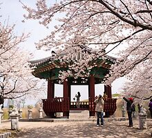 Cherry Blossoms in Seoul by koreanrooftop