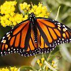 Monarch Butterfly (Female) on Golden Rod by AnnDixon