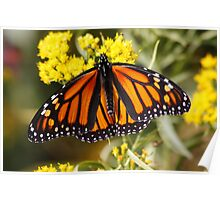 Monarch Butterfly (Female) on Golden Rod Poster