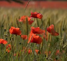Poppies in a field. by Billlee
