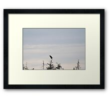 photography of an eagle in Nova Scotia Framed Print