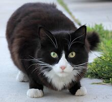 Black and White Cat by ritmoboxers
