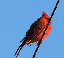 Cardinal on a Wire by Barnbk02