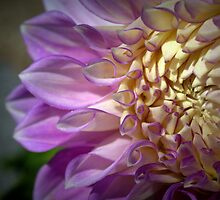 Salvador Dahlia by Ben Loveday