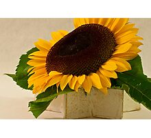 Short Petaled Sunflower In Star Box Photographic Print