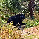 North American Black Bear by Kathleen Daley