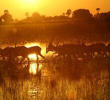 Orange dawn in the okavongo delta by jozi1