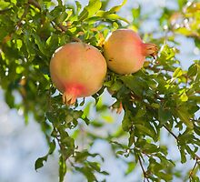 pomegranate on tree by spetenfia