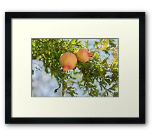 pomegranate on tree Framed Print