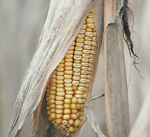 Awaiting Harvest  by Laurie Minor