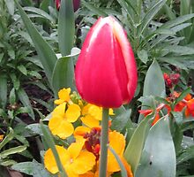 RED TULIP by Colleen2012