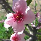 Nectarine Blossom, Mount Pleasant. Adelaide Hills. S.A. by Rita Blom