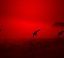 Giraffe Sunset - African Wildlife - Red Three Beauty by LivingWild