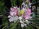 Flower (Cleome) in New York, USA by AnnDixon