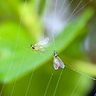 A Spider's Fly Larder by AnnDixon