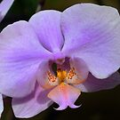 Orchid by cclaude