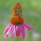 Coneflower and Butterfly by cclaude