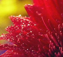 Sparkling Dew on Red by solnoirstudios