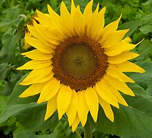 Sunflower by cdesphotography