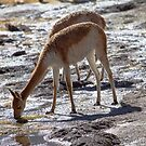 Vicuna by DianaC