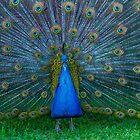Peacock by Keith G. Hawley