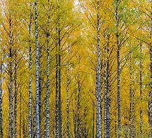 Yellow Birch Forest by Forestpictures