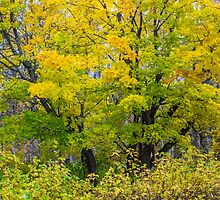 Maple colors in autumn by Forestpictures