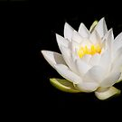 White Water Lily 2 by Rebecca Cozart