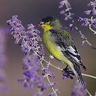 Goldfinch at Palomino Valley by SB  Sullivan