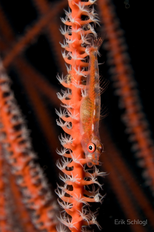 Mozambique Ghostgoby, Kimbe Bay, Papua New Guinea by Erik Schlogl