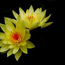 Yellow Water Lily Duo by Rebecca Cozart
