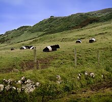 Belted Galloway in Northern Ireland by Alan Campbell