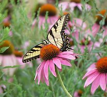 Tiger Swallowtail on Purple Coneflower by Ingasi
