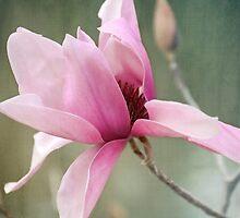 Magnolia by Lydia Marano