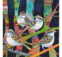 White-throated sparrows Photographic Print