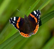 butterfly by Wizi-Top
