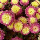 Cheerful flowers chrysanthemums by Ana Belaj