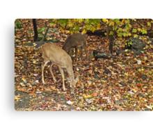 Young Whitetail Deer - Odocoileus virginianus - Autumn Canvas Print