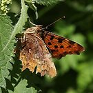 Comma butterfly by Rivendell7