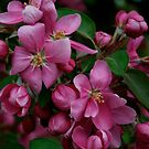 Crab Apple Blossoms by goddarb