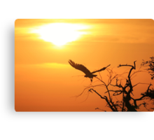 White-backed Vulture - Flying into the Sun. Canvas Print