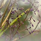 Dianella in Bud by Elaine Teague