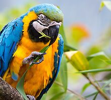 Macaw 2 by Ellesscee