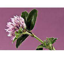 Wild Clover Blossom - Macro  Photographic Print