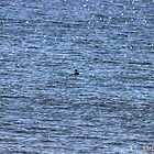 There's a little black duck swimming in the water. A little black duck doing....... by Ozcloggie