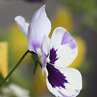 Pansy by Lori Peters