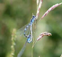 Blue Damselflies by Lori Peters