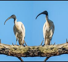 Ibis Bird Puzzle by Graeme Bayley